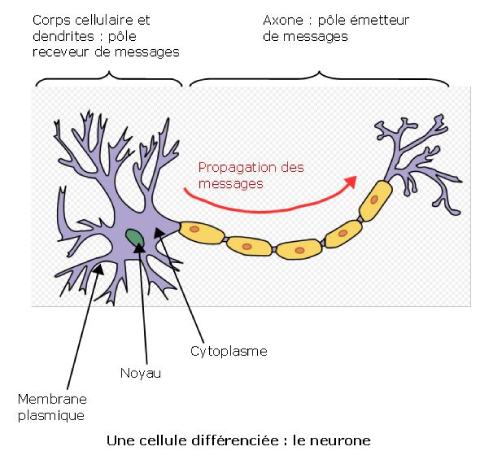 Un neurone