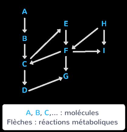 Voies métaboliques connectées