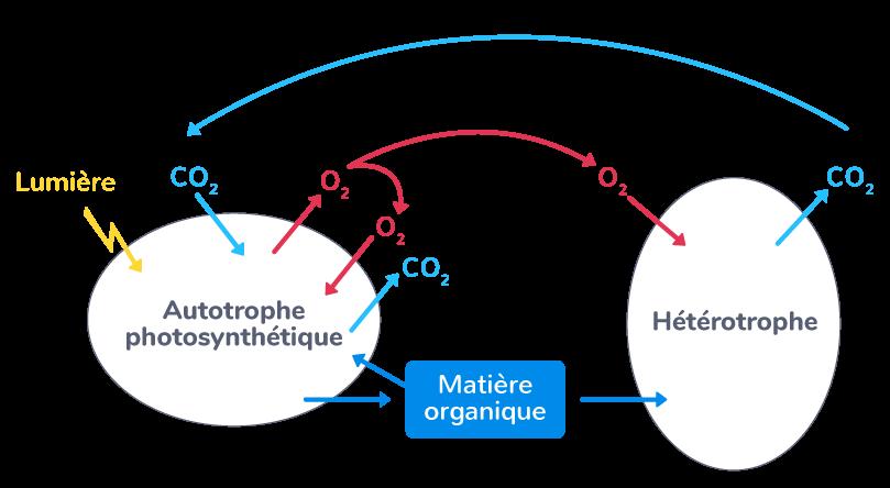 Flux de matière et d'énergie au sein de la biosphère