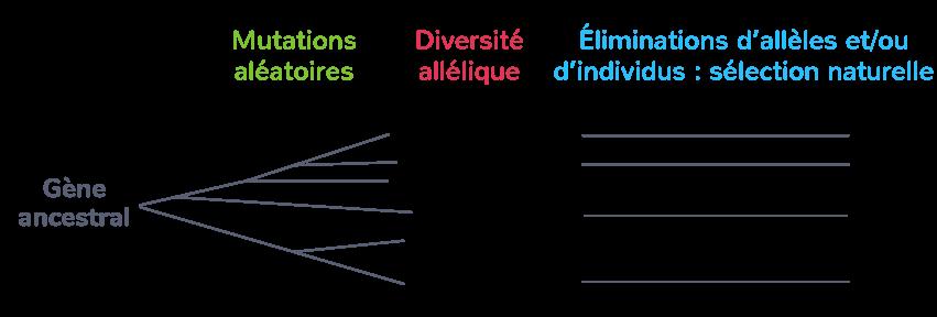 Le principe Variation – Sélection