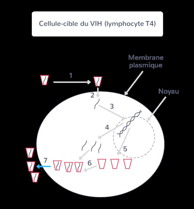 Le cycle de reproduction du VIH