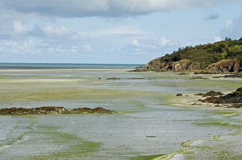 La plage de la pointe du Grouin en Baie de Saint-Brieuc envahie par les algues vertes