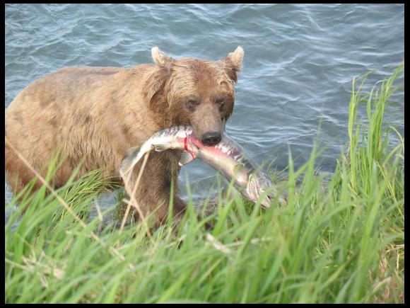 Une relation de prédation: l'ours mange le saumon