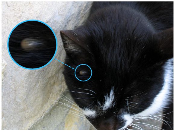 Un exemple de parasitisme: une tique se nourrissant de sang sur la tête d'un chat