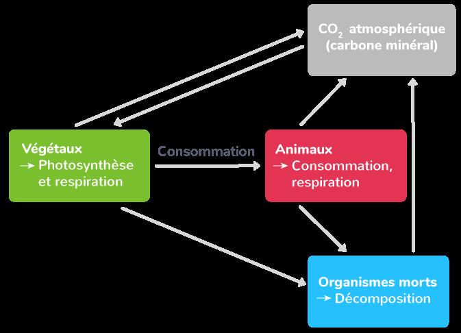 Le cycle du carbone dans la forêt