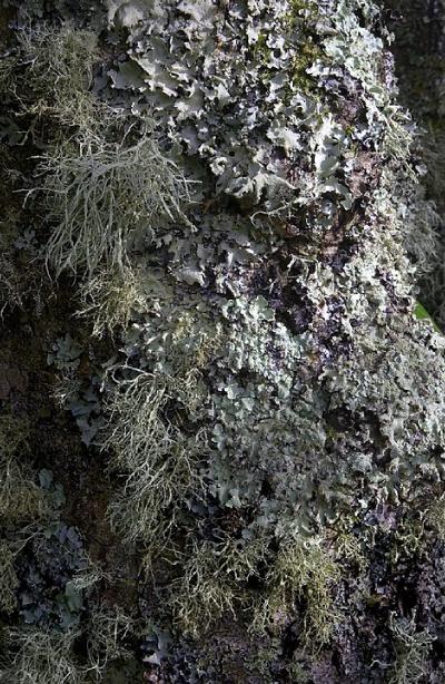 Le lichen, un exemple de symbiose (ici, différentes espèces de lichen sur un tronc)