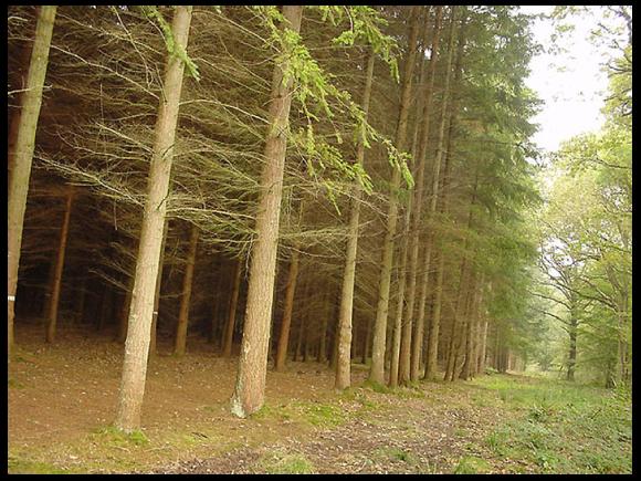 Une plantation de résineux. Noter la pauvreté de la biodiversité du sous-bois. À droite on devine encore la biodiversité plus riche de la forêt d'origine.