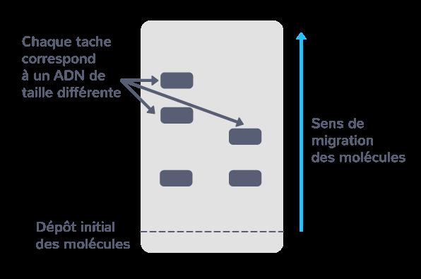 La technique d'électrophorèse permet de séparer des molécules selon leur taille, dans un champ électrique.