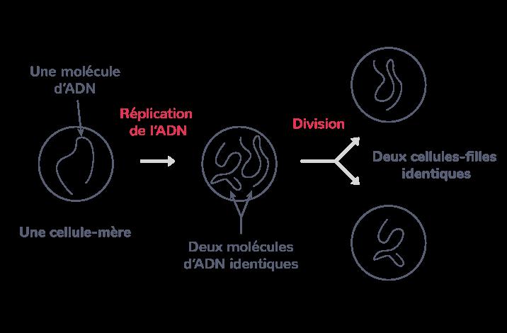 Réplication de l'ADN et reproduction des cellules