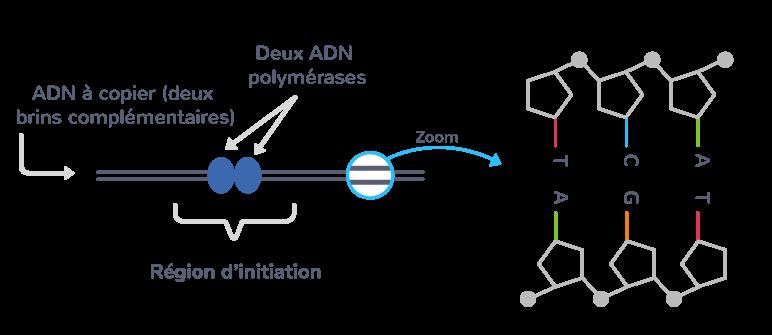 Initiation de la réplication par fixation des ADN polymérases sur l'ADN