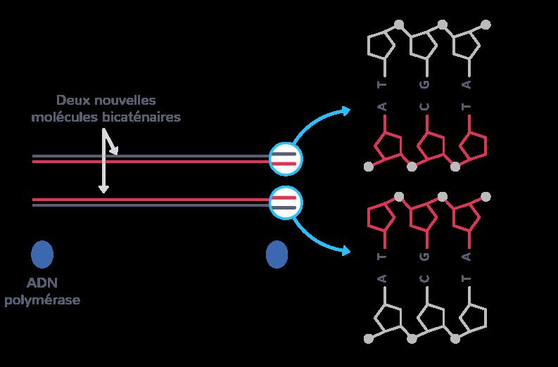 Terminaison de la réplication de l'ADN, libération des nouvelles molécules