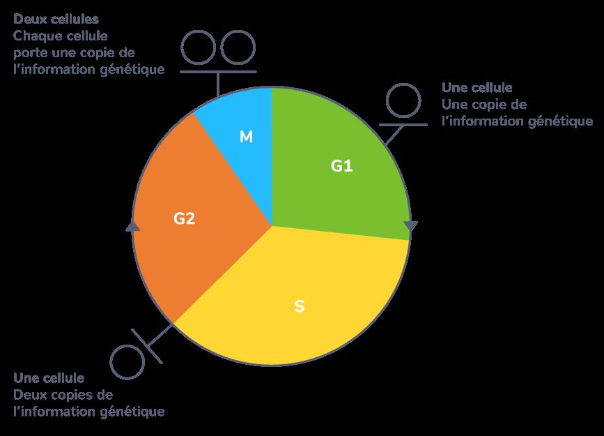 Un cycle cellulaire