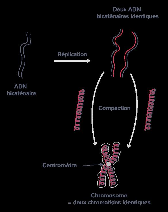 La formation des chromosomes