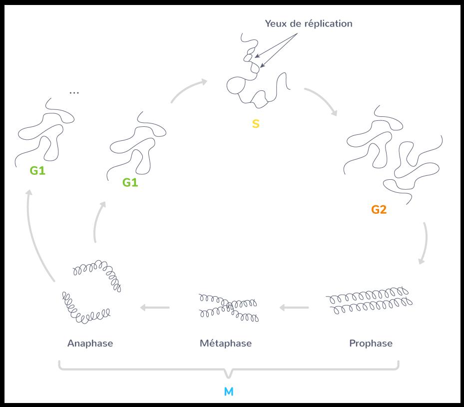 Évolution de l'aspect de l'ADN au cours du cycle cellulaire