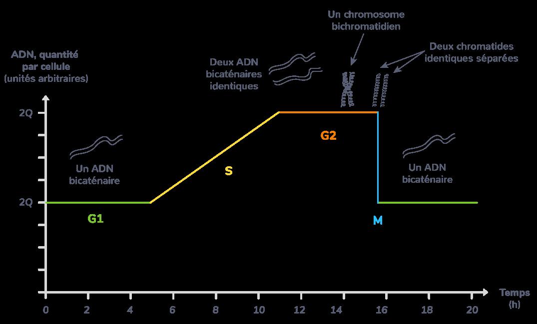 Bilan du cycle cellulaire