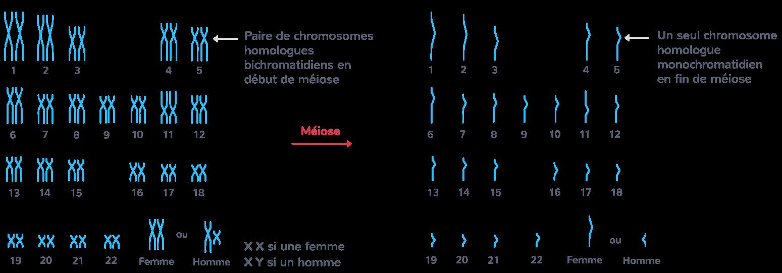 Caryotype humain avant (gauche) et après (droite) la méiose