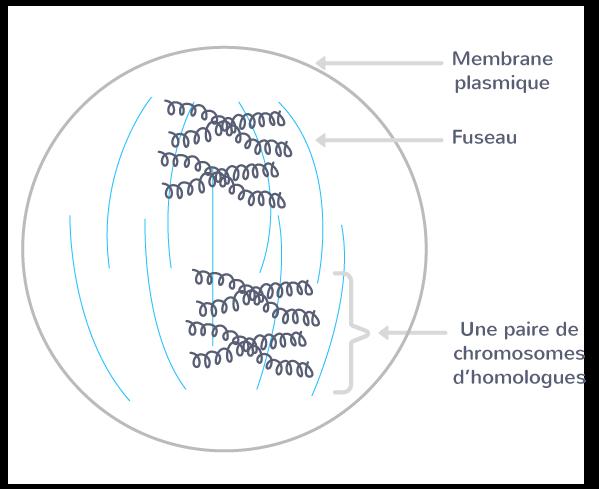 La prophase I, pour une cellule à 2n = 4 chromosomes