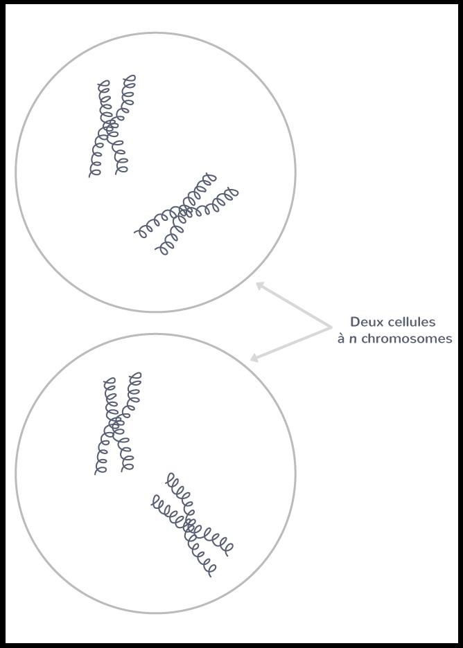 Les deux cellules haploïdes (n = 2) obtenues à l'issue de la méiose, pour une cellule initiale à 2n = 4 chromosomes