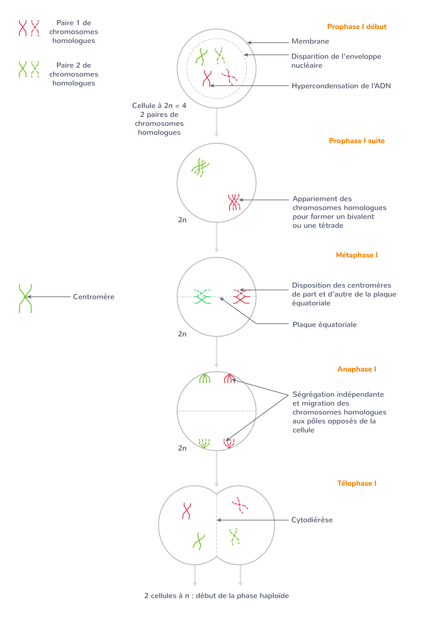 Première division de méiose (division réductionnelle)