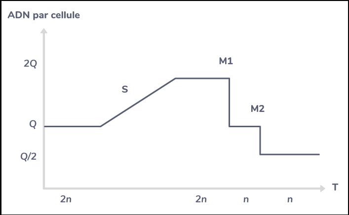 Évolution de la quantité d'ADN par cellule ainsi que du nombre de chromosomes au cours de la méiose