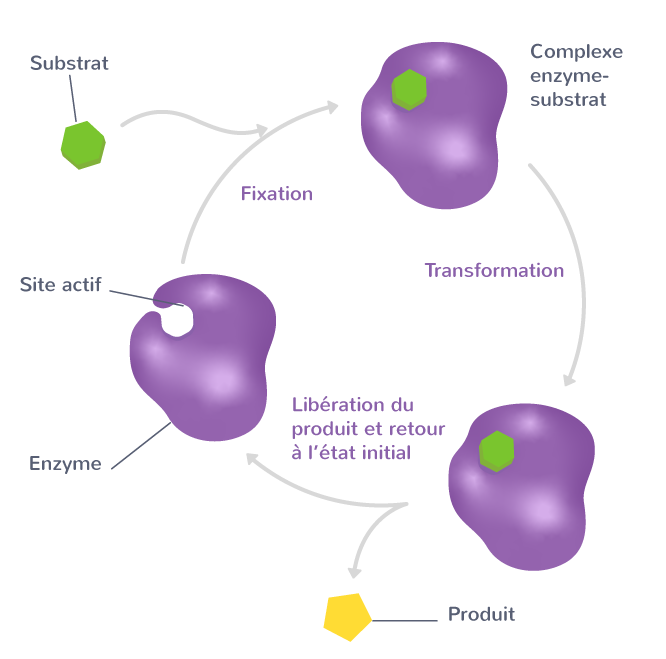 Le cycle catalytique d'une enzyme
