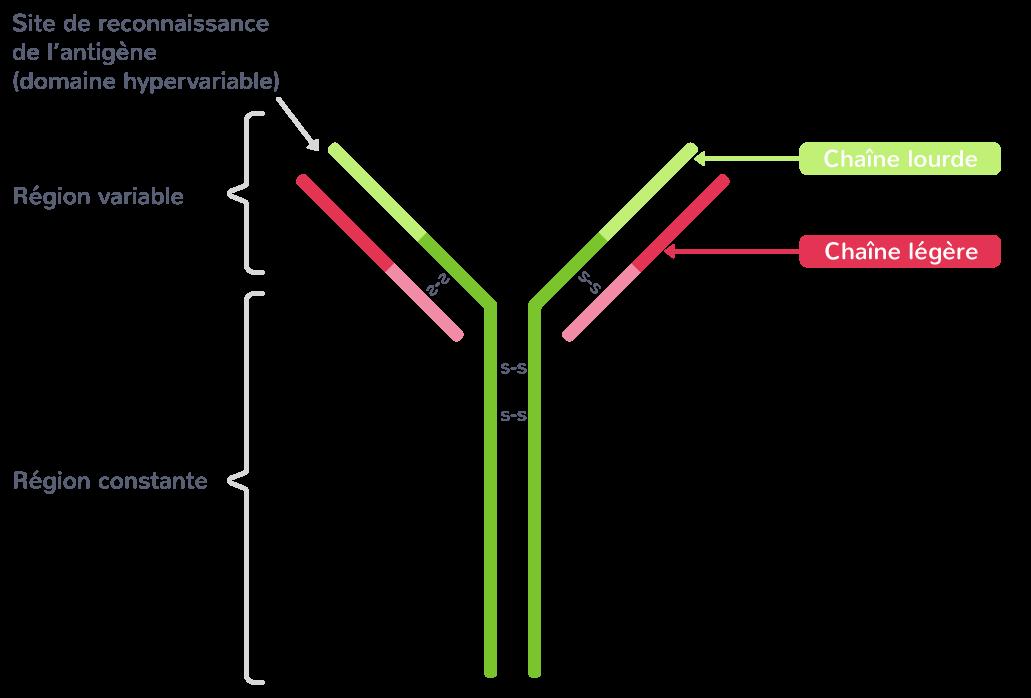 Structure d'un anticorps