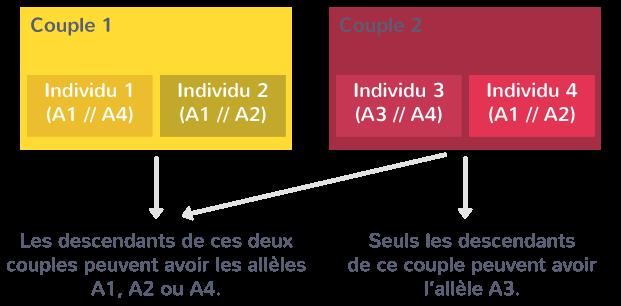 Une parenté entre individus, liée à l'identification des allèles