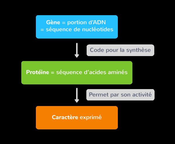 L'expression de l'information génétique passe par les protéines