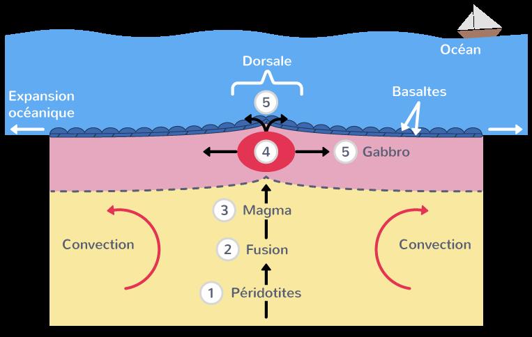 Structure et magmatisme des dorsales