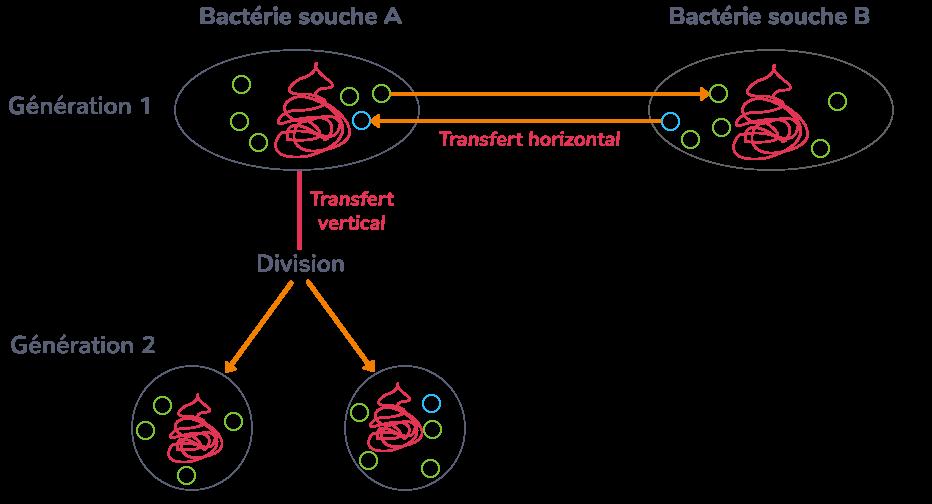 Transferts de gènes horizontaux et verticaux chez une bactérie