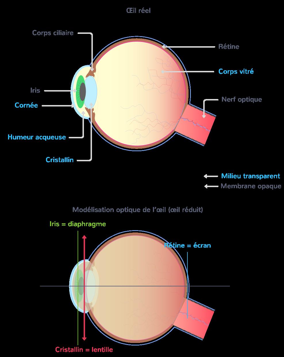 modélisation œil éléments optiques vision