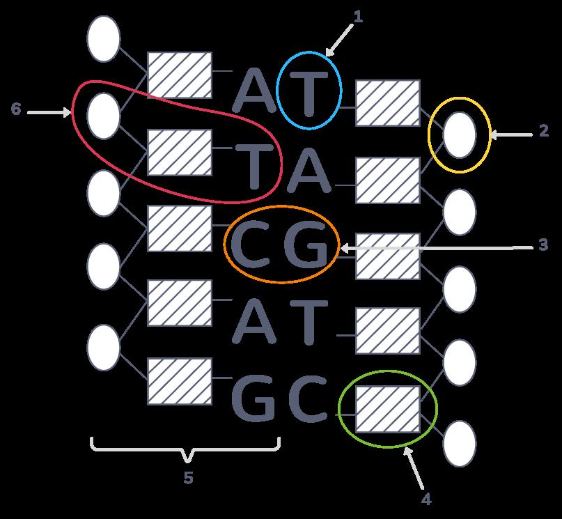 La molécule d'ADN