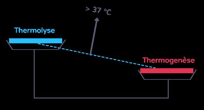 """La thermolyse est inférieure à la thermogenèse (qui """"pèse"""" plus lourd sur le schéma) :l'organisme se réchauffe, la température du corps augmente."""