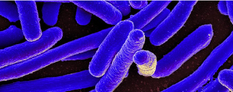 La bactérie E. coli