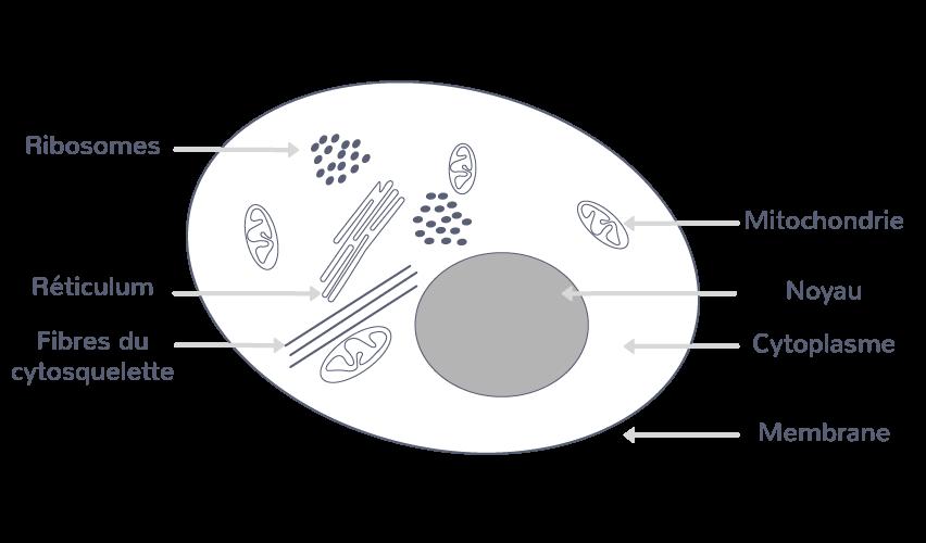 Une cellule eucaryote animale