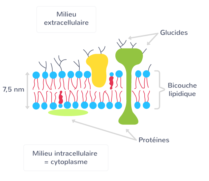 La composition de la membrane plasmique