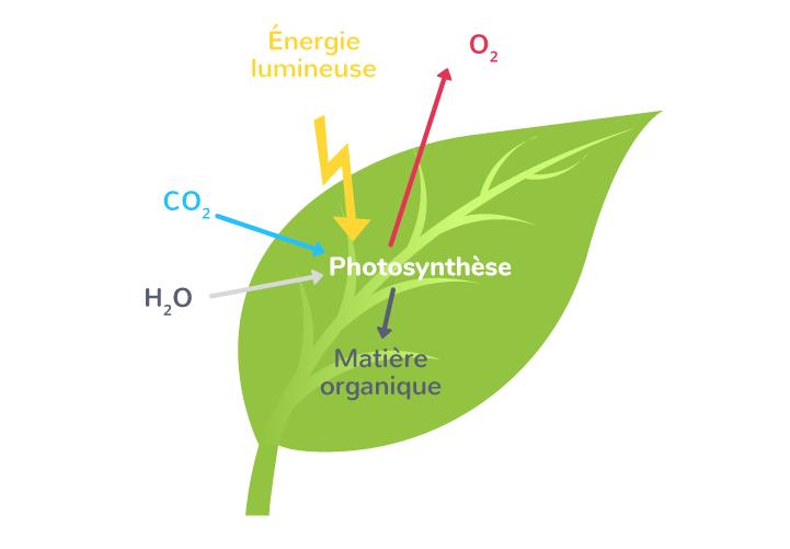Le principe de la photosynthèse