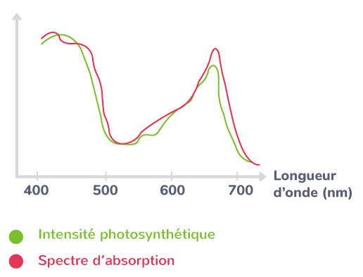 Spectre d'absorption et intensité photosynthétique