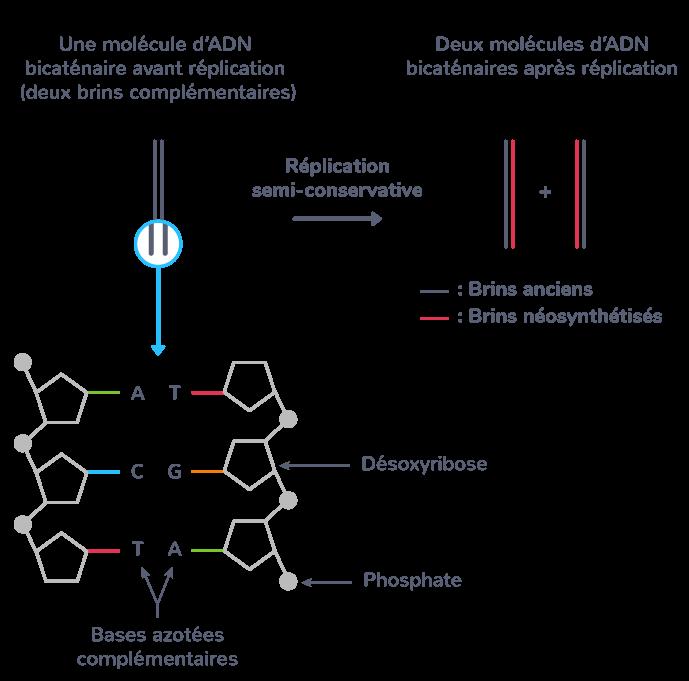Caractère semi-conservatif de la réplication de l'ADN