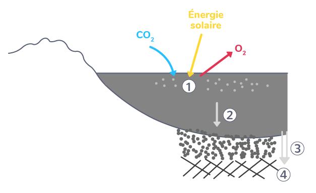 La formation des combustibles fossiles grâce à la photosynthèse