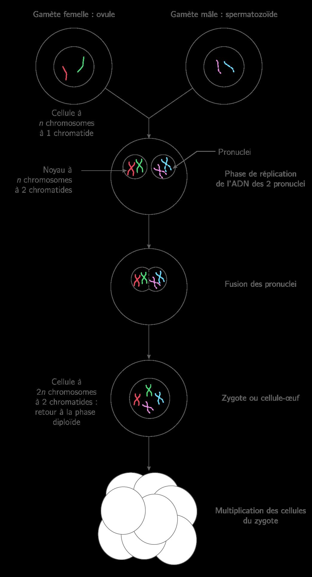 Fécondation pour une espèce à 2n = 4 chromosomes