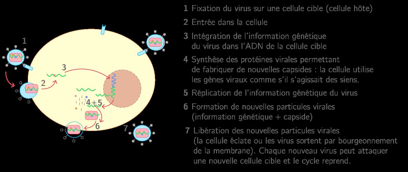 Le cycle de multiplication d'un virus