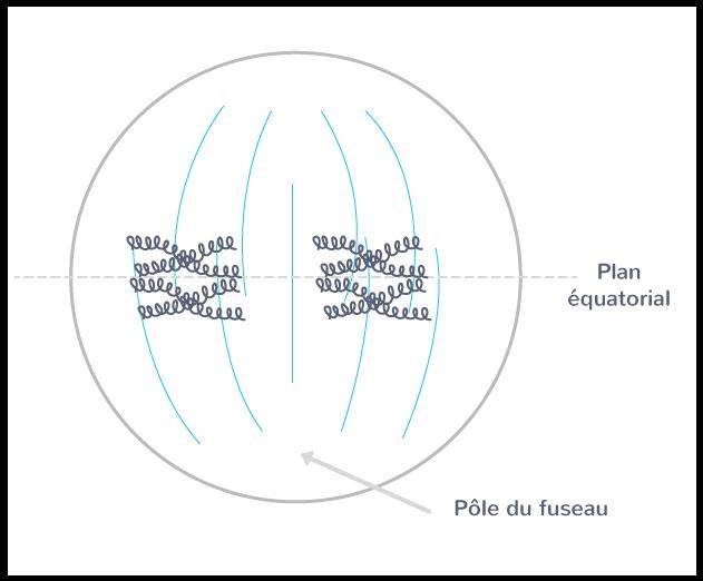 La métaphase 1, pour une cellule à 2n = 4 chromosomes