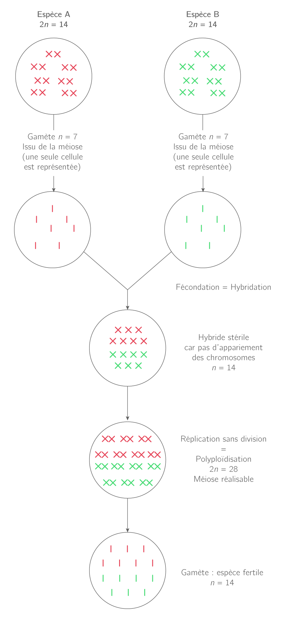 Naissance d'une nouvelle espèce par hybridation et polyploïdisation
