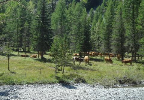 Élevage extensif dans les Alpes-de-Haute-Provence