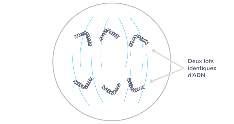 L'anaphase mitotique