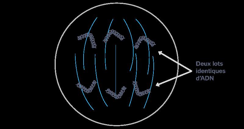 L'anaphase mitotique