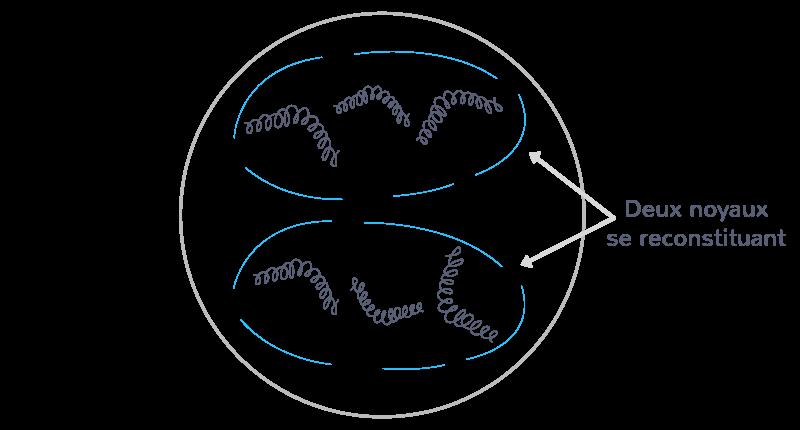 La télophase mitotique