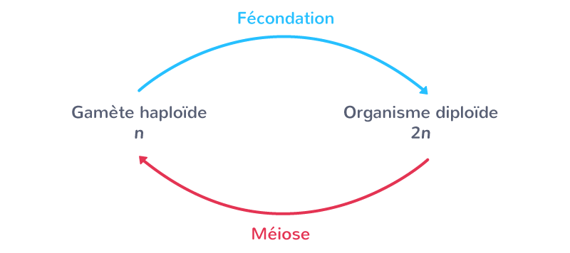 Un cycle de reproduction