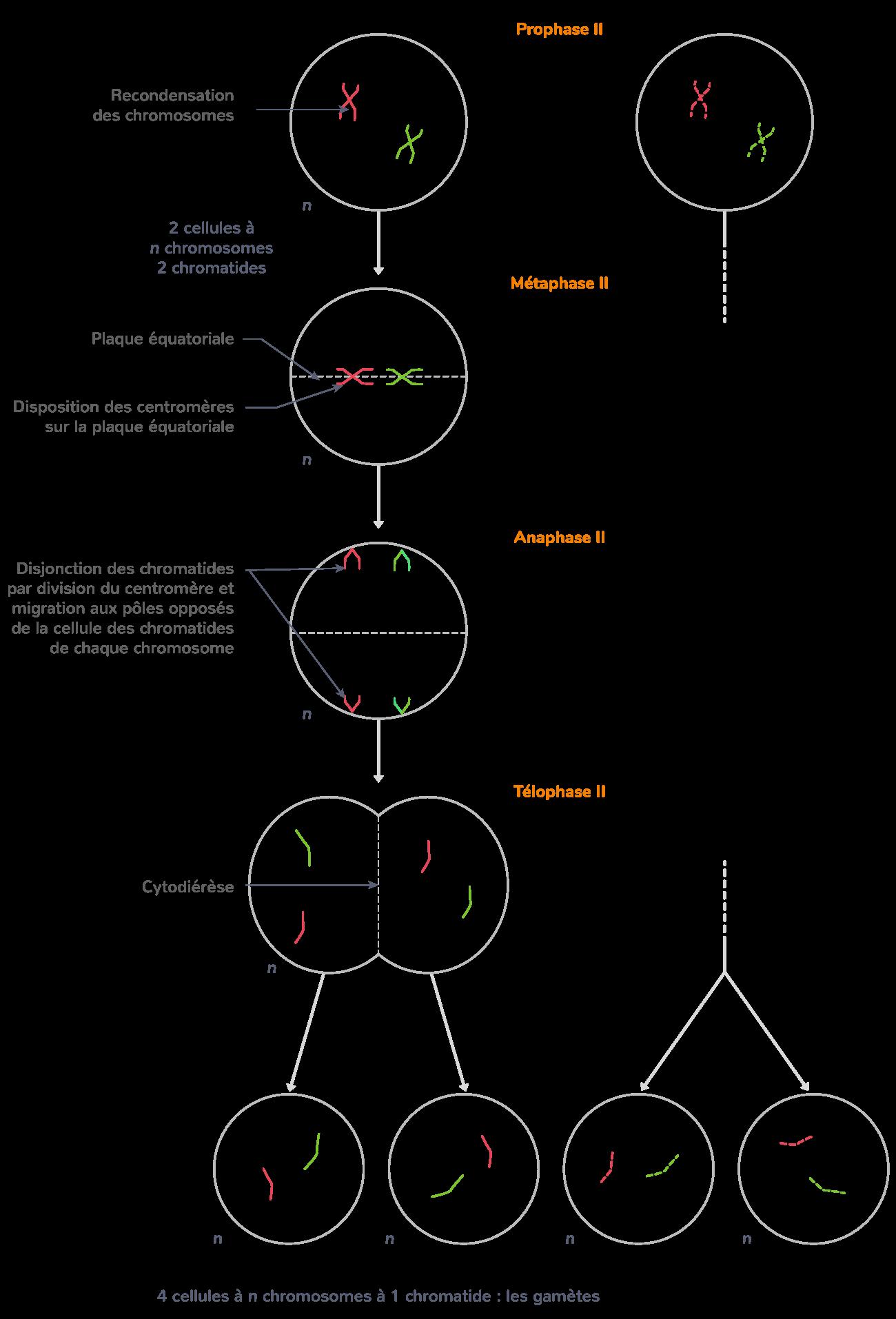 Seconde division de méiose (division équationnelle)